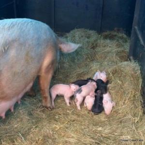 happy-piglets