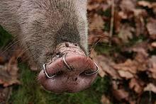 Pig-Nose-Ring
