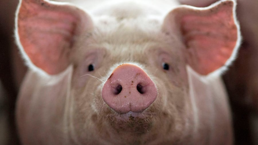 Pigs-Front-View