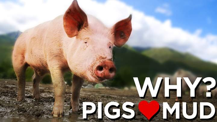 pigs-love-mud-thumbnail